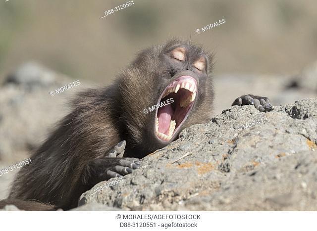 Africa, Ethiopia, Rift Valley, Debre Libanos, Gelada or Gelada baboon (Theropithecus gelada), male in intimidation posture
