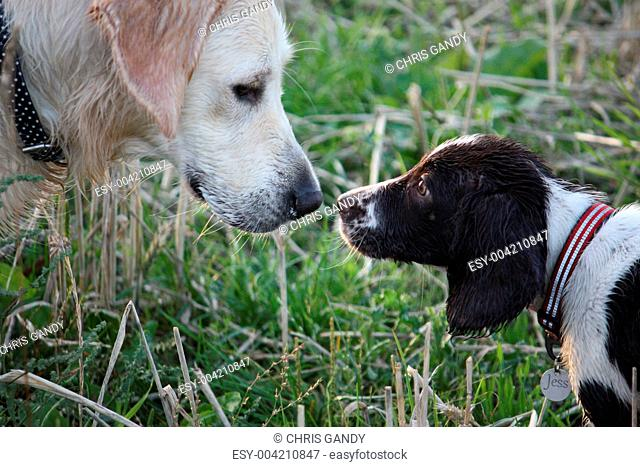 Working English Springer Spaniel and a Golden Retriever face to face