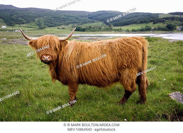 Highland cow . Isle of Mull, Scotland, UK