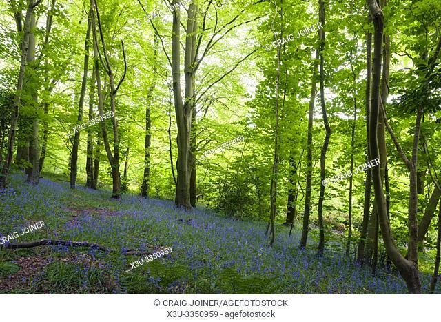 Bluebells (Hyacinthoides non scripta) in flower in Leigh Woods near Bristol, North Somerset, England