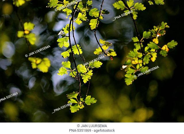 Fresh green leaves on tree with back light, Groningen, the Netherlands
