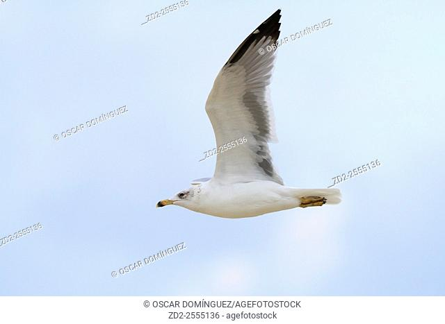 Yellow-legged Gull (Larus michahellis) in flight. Israel
