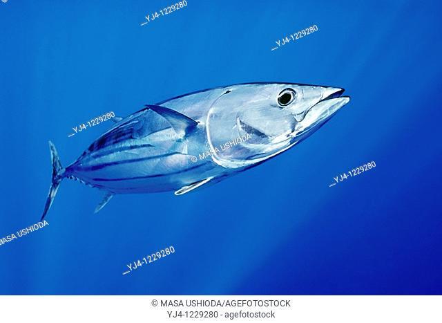 skipjack tuna or aku in Hawaiian, Katsuwonus pelamis, Kona Coast, Big Island, Hawaii, USA, Pacific Ocean