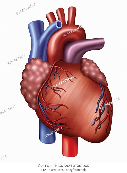 Descriptive illustration of Heart. Main muscular organ of the circulatory system in all the animais.Funciona like a pump aspirante and impelente
