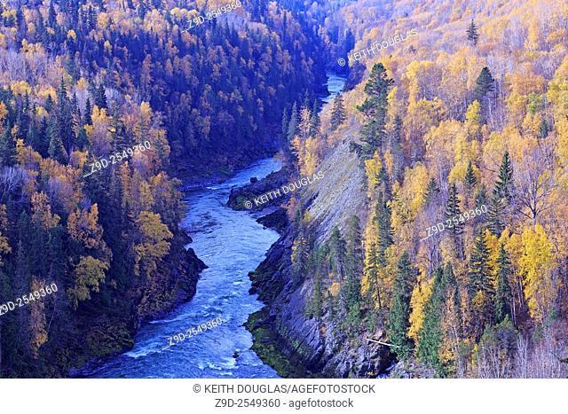 Fall colours of yellow Aspen leaves along the Bulkley river, near Hzelton, British Columbia