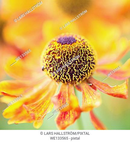 Tranquil summer nature scene, close up of flower in garden