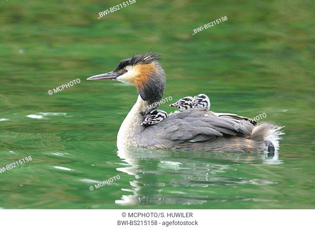 great crested grebe (Podiceps cristatus), great crested grebe is swimming with three chicks on its back