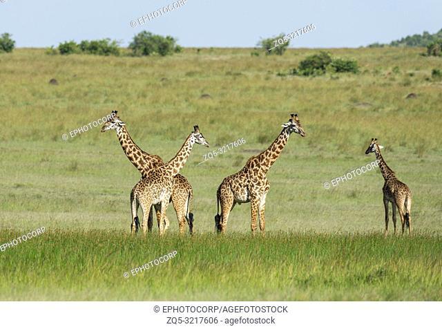 Four giraffes, Giraffa Maasai Mara, Kenya, Africa