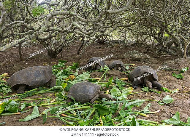 Tortoises at the Jacinto Gordillo tortoise breeding center in the highlands of San Cristobal Island (Isla San Cristobal) or Chatham Island in the Galapagos...