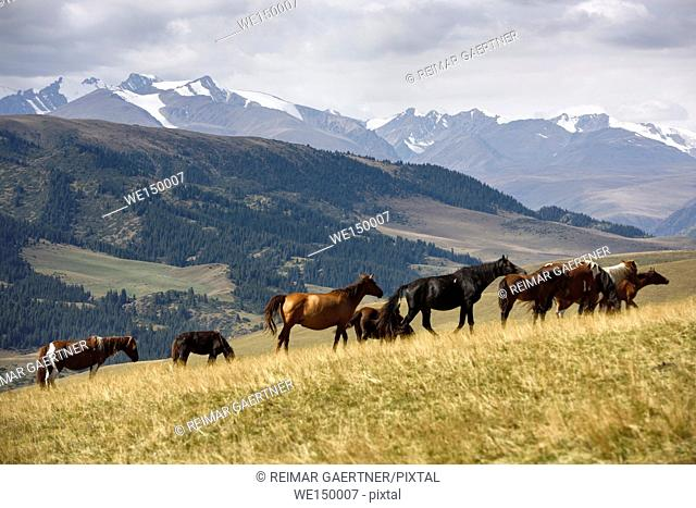 Band of horses grazing on Assy Turgen plateau with snow capped Tien Shan mountains Kazakhstan
