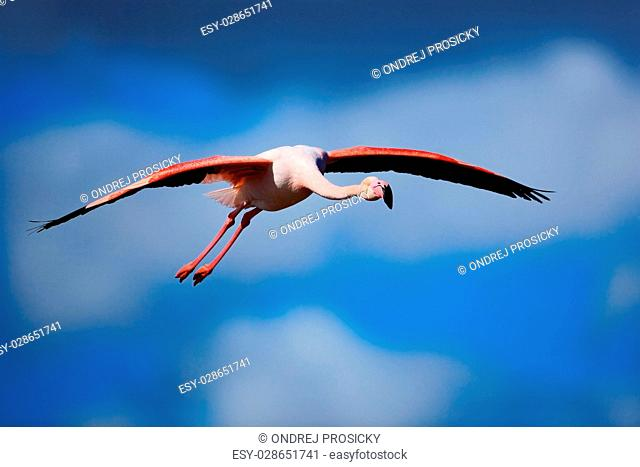 Greater Flamingo, Phoenicopterus ruber, flying beautiful pink bird