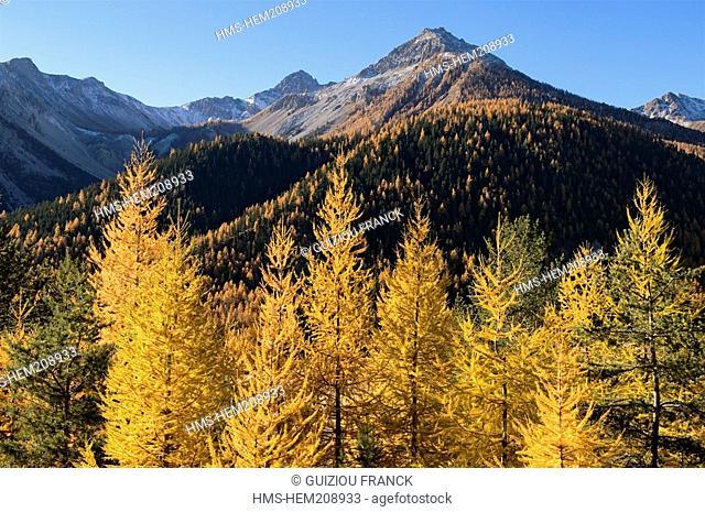 France, Hautes Alpes, the Brianconnais area in autumn, La Claree Valley, larch trees