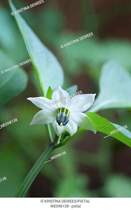 A single white Pepper blossom