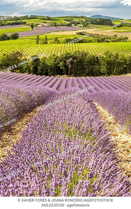 Lavander fields and vineyards in the Drôme Provençale, Drôme, France