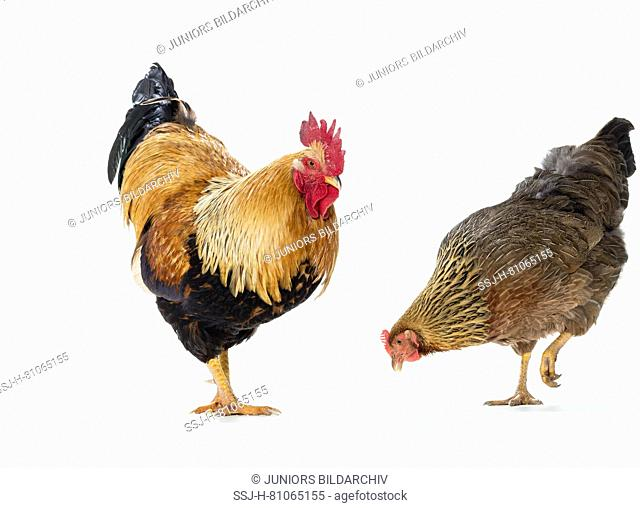 Welsummer Chicken. Rooster and hen. Studio picture seen against a white background. Germany