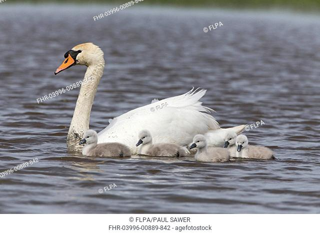 Mute Swan (Cygnus olor) adult female with five cygnets, swimming, Suffolk, England, May
