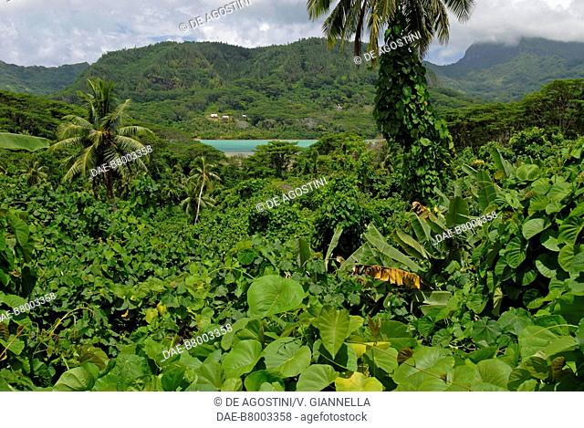 The luxuriant vegetation of the rainforest, Huahine, Society Islands, French Polynesia
