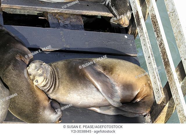 Sea lions resting, Santa Cruz Wharf, Santa Cruz, California, United States. RM