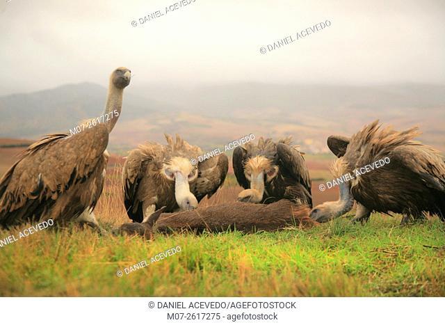 Vultures eating carrion, Ibérico Range Mountains, La Rioja, Spain, Europe