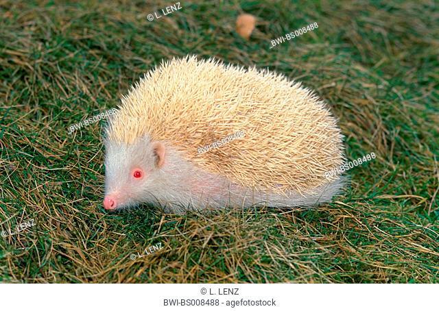 hedgehogs and gymnures (Erinaceidae), albino