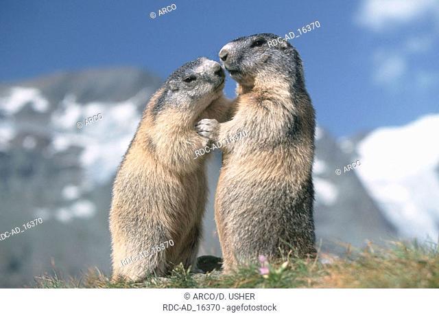Alpine Marmots Austria Marmota marmota