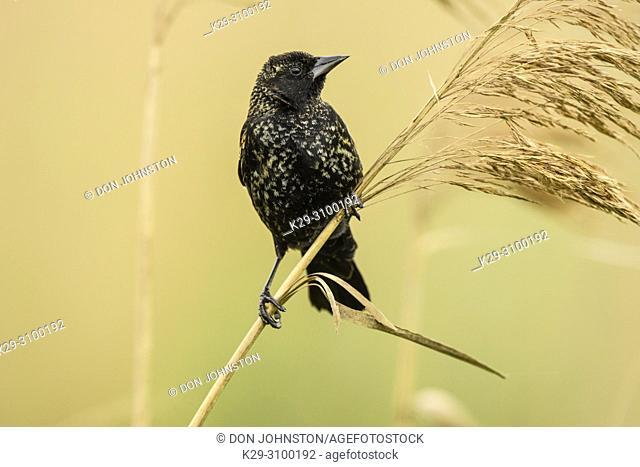 Red-winged blackbird (Agelaius phoeniceus), Anahuac NWR, Texas, USA
