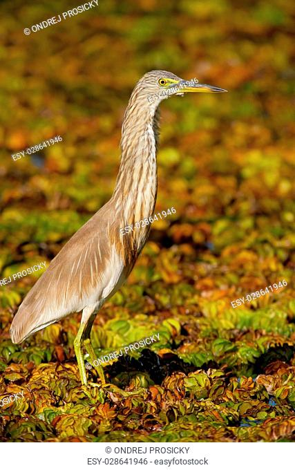 Indian Pond Heron, Ardeola grayii grayii