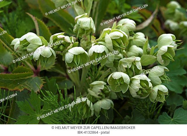Holly-leaved Hellebore (Helleborus argutifolius), Bavaria, Germany