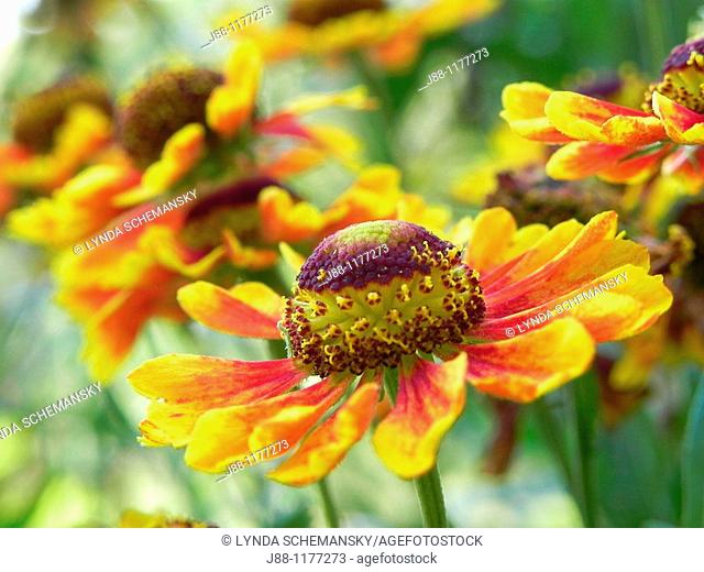 Helenium autumnale flowers in a row