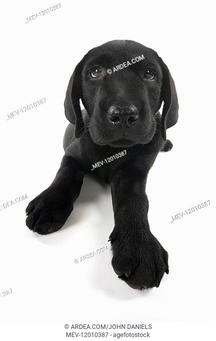 DOG. Black Labrador puppy laying down, studio, ( 9 weeks old ) 9 weeks old DOG. Black Labrador puppy laying down, studio, ( 9 weeks old ) 9 weeks old