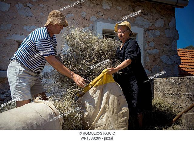 Lavender farmers filling lavender into jute sacks, Hvar, Dalmatia, Croatia