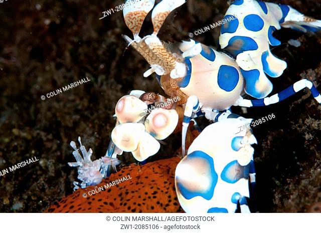 Pair of Harlequin Shrimp (Hymenocera elegans) - male very small - eating Sea Star (Linckia laevigata) at Seraya in Bali in Indonesia