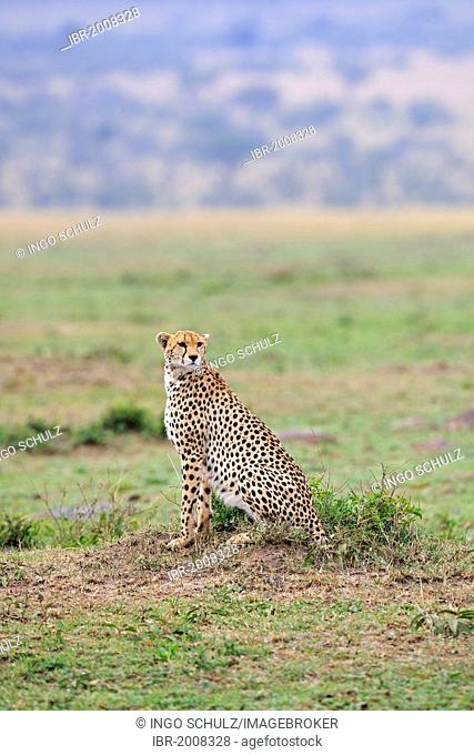 Cheetah (Acinonyx jubatus) keeping watch, Maasai Mara National Reserve, Kenya, East Africa, Africa