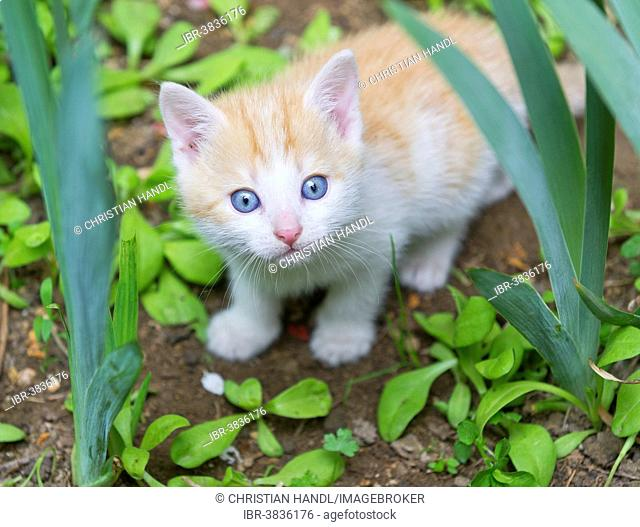 Young domestic cat in the garden, Austria