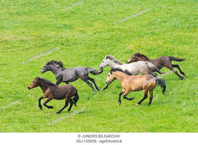 Connemara horses - herd - running