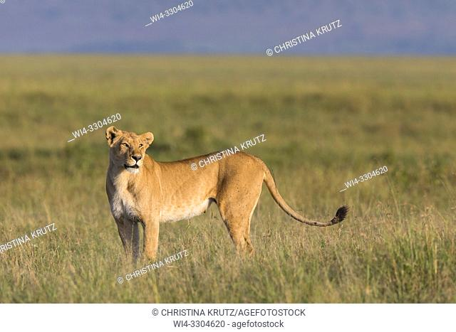 African Lion (Panthera leo), female standing in tall grass, Maasai Mara National Reserve, Kenya, Africa
