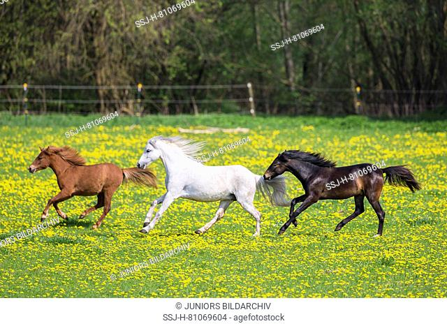 Welsh Pony (Section B). Gray mare, weaner (German Riding Pony) and chestnut mare galloping on a pasture. Germany