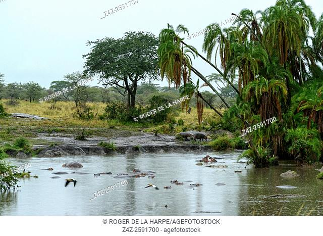 Common hippopotamus or hippo (Hippopotamus amphibius) and Wild Date Palm (Phoenix reclinata) in the rain at a waterhole. Serengeti National Park