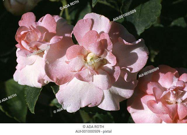 Begonia - peach-pink - double - precious - iridescent ruffles - feminine - sophisticated