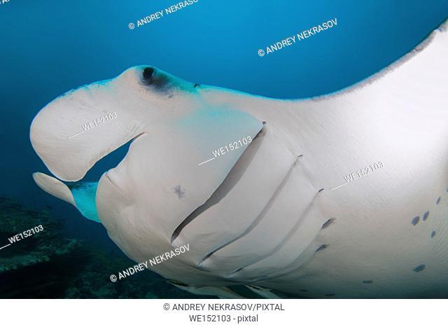 Giant oceanic manta ray (Manta birostris) swims in blue water, Indian Ocean, Maldive