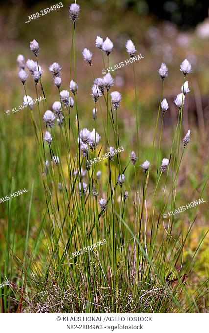 Hare's-tail Cottongrass, Tussock Cottongrass or Sheathed Cottonsedge (Eriophorum vaginatum) flowering in moory landscape - Bavaria/Germany
