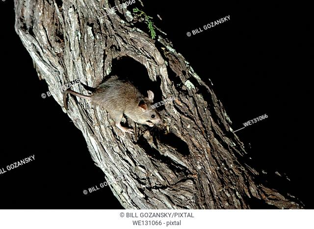 White-throated Woodrat (Packrat) - Camp Lula Sams - Brownsville, Texas USA