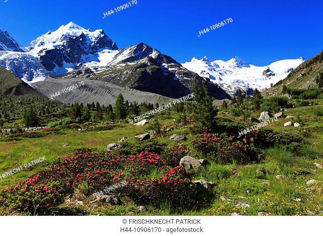 Alps, Alpine rose, alpine rose, mountain, mountain panorama, mountain flowers, mountains, mountain flora, mountain spring, mountain panorama, flower, flowers