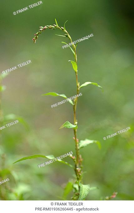 Water pepper, Persicaria hydropiper / Wasserpfeffer, Persicaria hydropiper