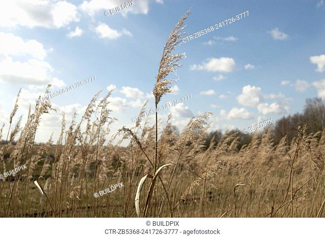 Marshland grass at a nature reserve, United Kingdom