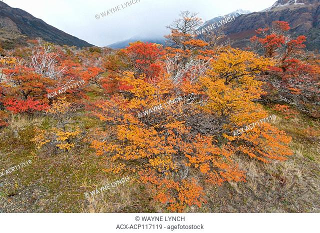 Southern beeches (Nothofagus) in autumn, Los Glaciares National Park, southern Argentina