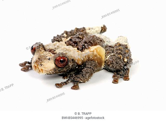 pied warty frog, hill garden bug-eyed frog, bird poop frog, Vietnamese Bird Poop Frog, Bird Poop Frog (Theloderma asperum), front vies, cutout