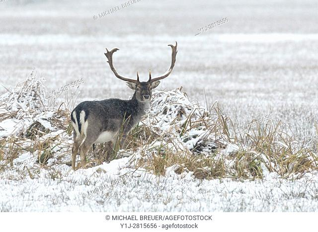 Fallow Deer in Winter, Cervus dama, Hesse, Germany, Europe