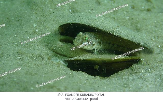 Fish Black goby (Gobius niger) sits in an empty shell of a mussel