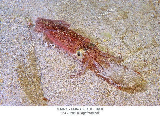 Juvenile europen squid, Baby european squid (Loligo vulgaris). Eastern Atlantic. Galicia. Spain. Europe